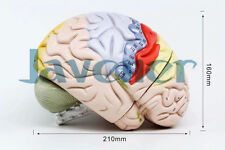 Human Anatomical Colorful Brain Dissection Medical Organ Teach Model Hi-Q