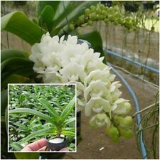 "Thai Orchid Plants Rhynchostylis gigantea 1"" In Pot (Kom x Puek) White flower"