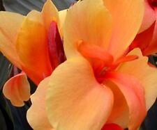 30 SEEDS  Indica Tropical Canna Seeds. Orange Flower.