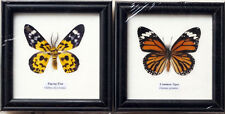 FRAMED REAL ZIGZAG FLAT MOTH AND COMMON TIGER BUTTERFLY  INSECT TAXIDERMY