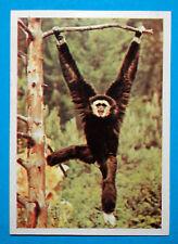 Figurina Panini-ANIMALI DI TUTTO IL MONDO 1965-n.42-ILOBATE-rec
