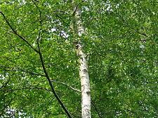 3 Silver Birch 6-8ft Stunning  Mature Specimen Trees, Betula Pendula 200cm
