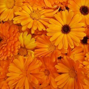 Fresh Pot Marigold, Calendula seeds, Hardy Annual