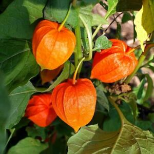 Seeds Cape Gooseberry Goldenberry Orange Physalis Vegetable Organic Ukraine