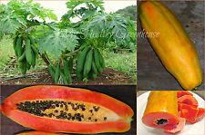 "50 SEEDS – Low Bearing Vietnamese Dwarf Papaya ""Kaek dahm"" Cylindrical Shape!"