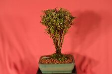 INDOOR BONSAI,SNOW ON MOUNTAIN,5 YEARS OLD,COLORFUL LEAVES ALL YEAR AROUND.