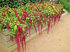 500+Amaranthus Love Lies Bleeding Flower Seeds Containers/Garden Full/Part Sun