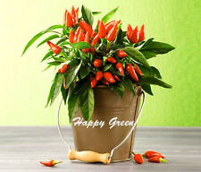 VEGETABLE - HOT CHILLI PEPPER - ORANETA - 50 SEEDS - Indoor and outdoor plant