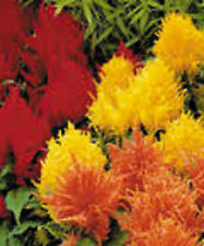 FEATHER FLOWER SEEDS CELOSIA LILIPUT COLOUR MIXTURE EDIBLE PLANT HARDY 600 SEEDS
