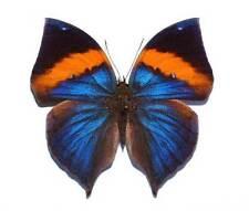 KALLIMA PARALEKTA PARALEKTA - unmounted butterfly