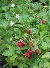 BF016 Fragaria Vesca Red Wonder x50 seeds, Alpine Strawberry
