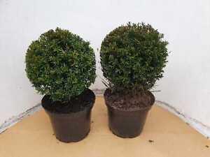 2 Stück Heimische Eibe - Kugel, Durchmesser: 25-30 cm, Taxus baccata + Dünger