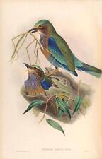 J Gould riproduzione BIRD print coracias affinis da volatili dell' Asia. # 22