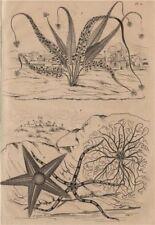 Asplenium ferns. Asterias (Sea stars) 1834 old antique vintage print picture