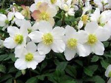 15+ HELLEBOROUS NIGER FLOWER SEEDS / CHRISTMAS ROSE / RABBIT RESISTANT /  EASY