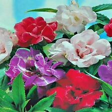 CAMELLIA FLOWERED BALSAM SEED MIXED COLOURS HARDY FLOWERING BULK 200 SEEDS