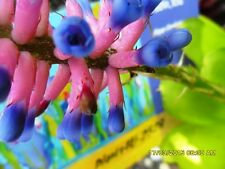 Garden Plants Bromeliad Aechmea gamosepalas Matchstix Pups