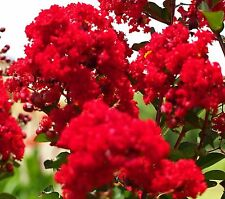 RED FLOWERING CREPE MYRTLE SEEDS LAGERSTROEMIA INDICA SHRUB SMALL TREE POT SEED