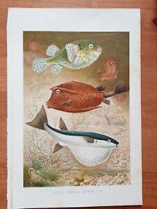 19th Century Antique Prints Of Fish