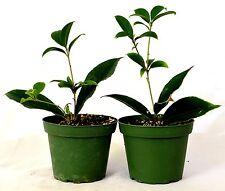 Sweet Olive Tree Osmanthus - Mature Hardy Easy to Grow Plants Fragrant Tea