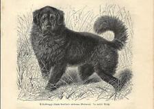 Stampa antica CANE MASTINO TIBETANO Tibetan mastiff 1891 Antique print dogs