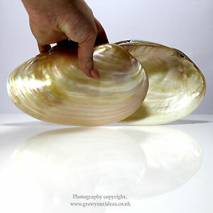 Large polished Pearl River oyster Perfect for bathrooms or culinary use 17-19cm