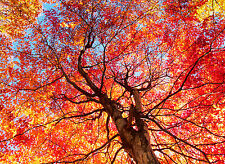 3 Acer rubrum / Red Maple 2-3ft Tall Trees, Stunning Autumn Colours