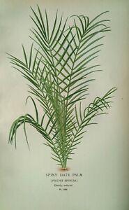 1897 print Spiny Date Palm, Phoenix Spinosa. Edward Step. 124 yrs old Botanical.