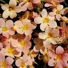 5 x PLUG PLANTS POLEMONIUM APRICOT DELIGHT RARE JACOBS LADDER
