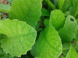 Stevia Seeds Sweet Leaf - Stevia rebaudiana  Natural Sugar Substitute Herb Plant