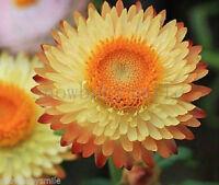 800 Strawflower Seeds Helichrysum Bracteatum Immortelle Paper Daisy Flower Fresh