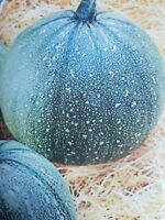 CALABACIN REDONDO   delicioso   50 Semillas Seeds