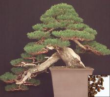 CIPRESSO Hinoki 50 semi-chamaecyparis obtusa-Bonsai giapponese Cypres