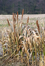 100 DALE SORGHUM Bicolor Syrup Flour Grain Vegetable Seeds *Combined Shipping!