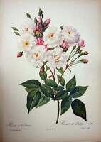 Original Old Vintage Print 1956 Roses Flowers Rosa Noisettiana Pink White Green