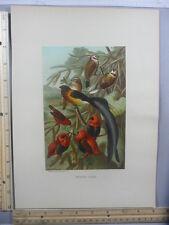 Rare Antique Original VTG Weaver Birds Prang Co. Color Litho Art Print