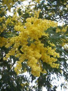 Acacia dealbata Mimosa Blue Wattle Young Plant 9cm Pot x 3 Plants/ Pots