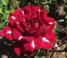 LIGHTNING STRIKE - 4lt Potted Floribunda Garden Rose - Unique Red/White Flash