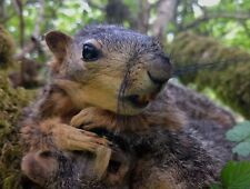 Taxidermy Lifesize soft mount Poseable Squirrel Movie Prop