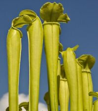 "Carnivorous Pitcher Plant:Sarracenia rubra ssp. gulfensis ""anthocyanin free"""