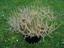 + 200 seeds graines DROSERA BINATA plante carnivore carnivorous plant