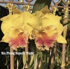 Rlc Thong Suparn 'Siam' Bloom Size 4� Pot (15) Sh051