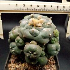 0508 //  Astrophytum myriostigma/  Astrophysics asterias/