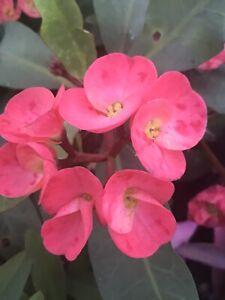 Rose Of The North Crown of Thorns Cuttings/Corona de Cristo/Euphorbia Milii Thai