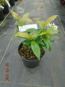 Trachelospermum jasminoides (star jasmine) in 1.5l pot