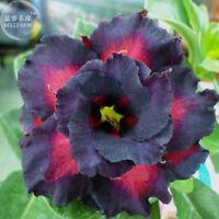 Adenium Desert Rare Black Charming Double Rose Seeds, 2PCS Flower Garden Exotic