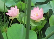 New listing Beautiful Dancer Live Lotus Tuber. Not Seed Huge Blooms this season!