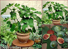 "30 Seeds Green Fig ""Strawberry Verte"" Self Fertile (Ficus Carica) Seeds"