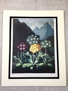 1975 Botanical Print Auricula Flowers Exotic Plants The Temple of Flora LARGE