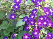 Morning Glory Star Of Yelta 50 Ipomoea Seeds